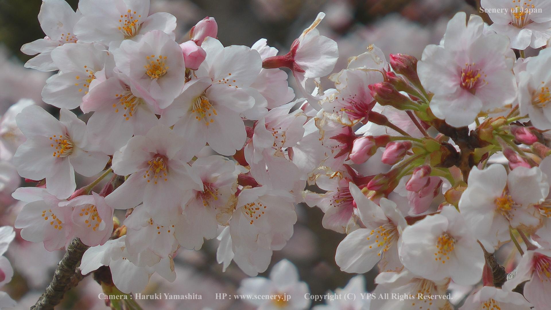 春の壁紙 画像 無料ダウンロード Scenery Of Japan